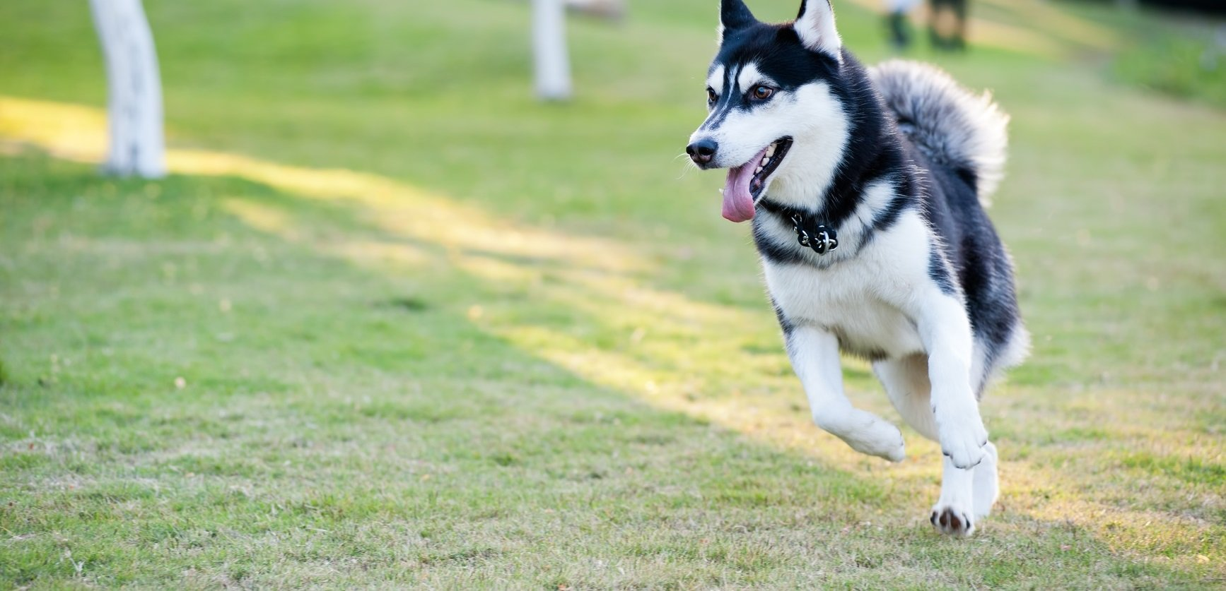 photodune-943742-alaskan-malamute-dog-running-m-wi